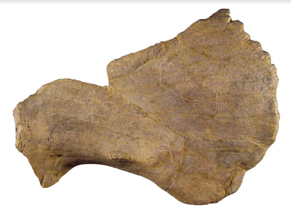 Crittendeceratops bone
