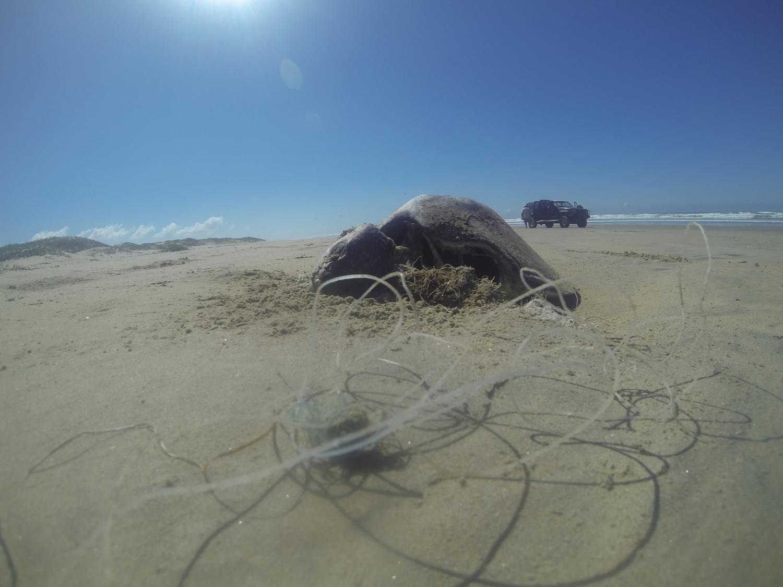 dead sea turtle