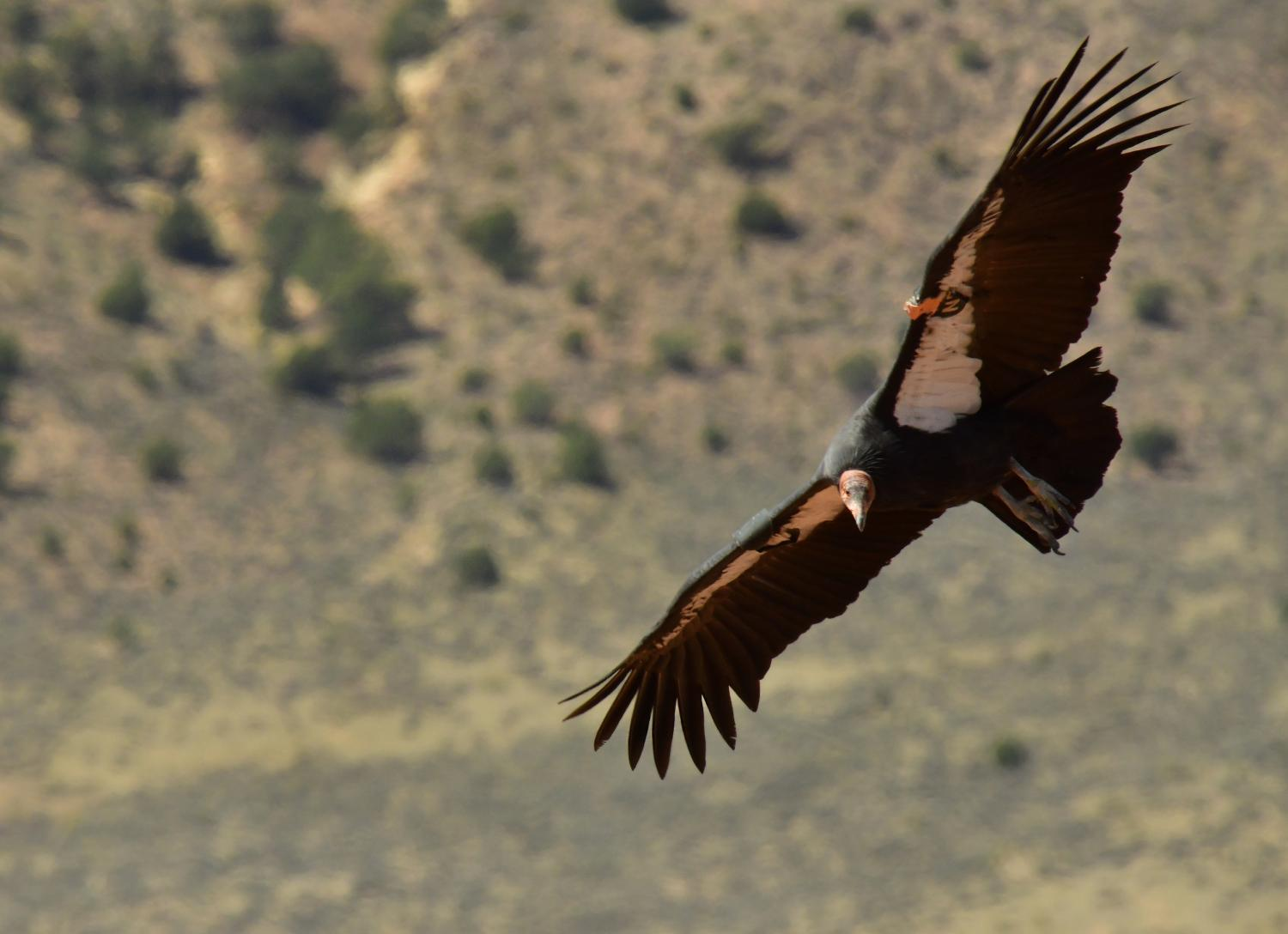 A california condor flies after being released in Northern Arizona
