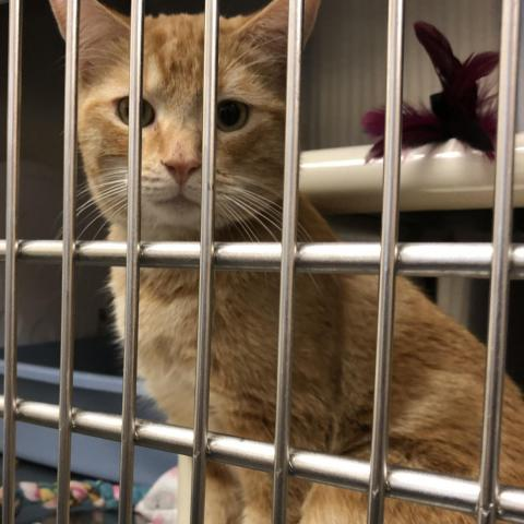 A cat waits for his forever home at the Maricopa County Animal Care and Control Shelter