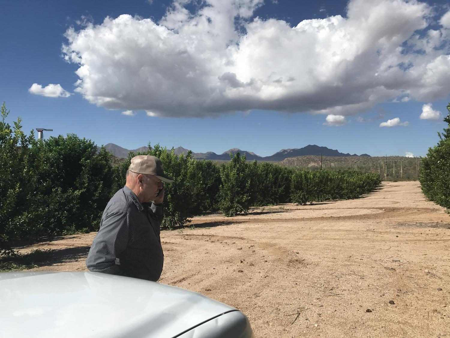 Harold Payne drives along the Ft. McDowell Farm's rows of lemon crops.
