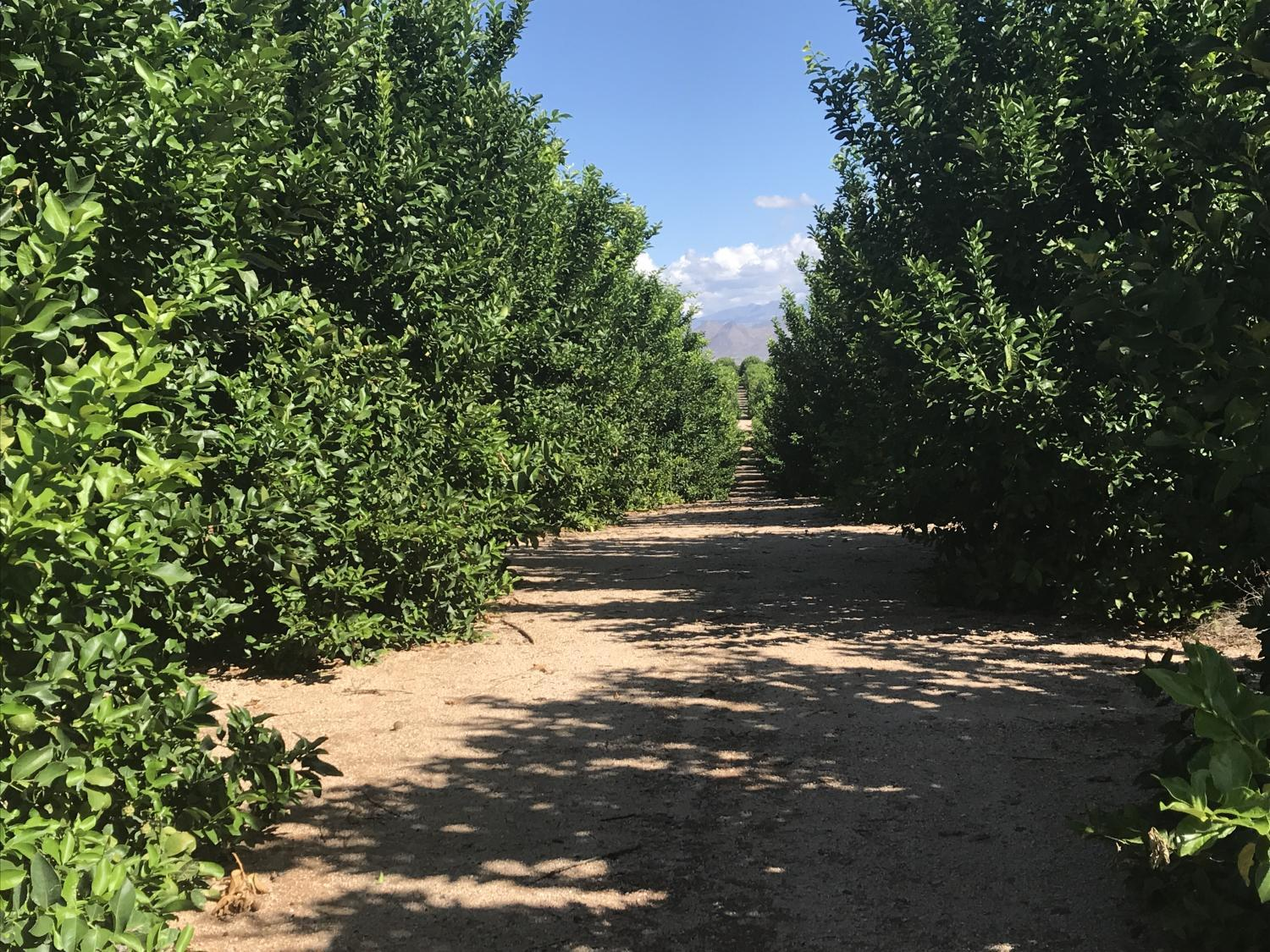 View down rows of lemon trees at the Ft. McDowell Farm.