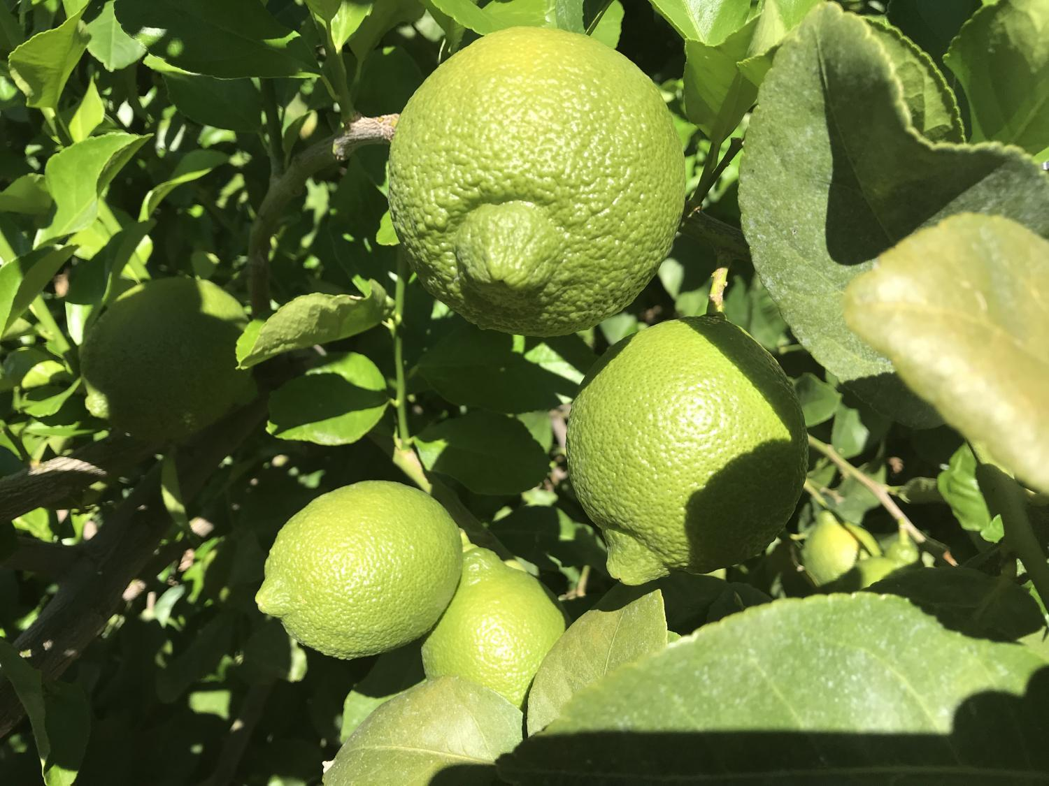 Lemons ripening on a tree in September 2018. Harvest season begins mid to late October.