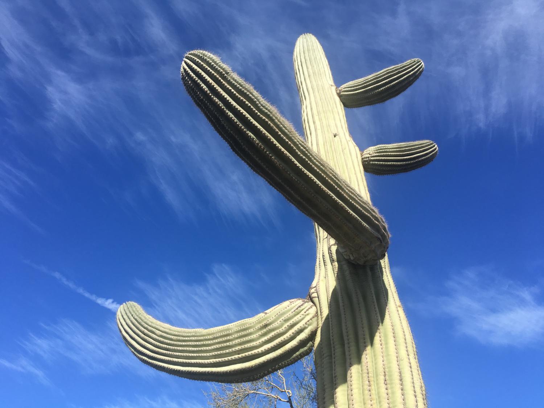 A saguaro cactus