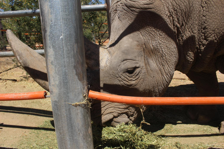 Jericho the Rhino