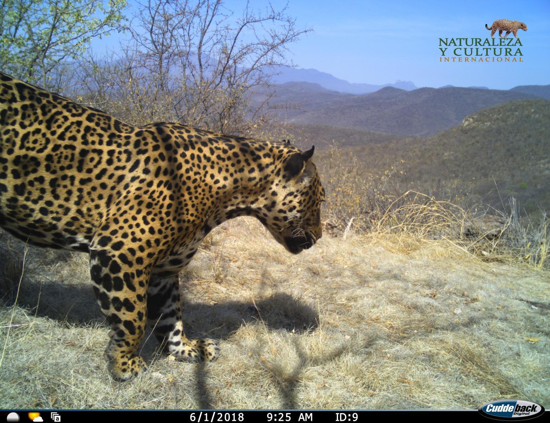 Protecting The Northern Jaguar: Securing Jaguar Corridors | Fronteras