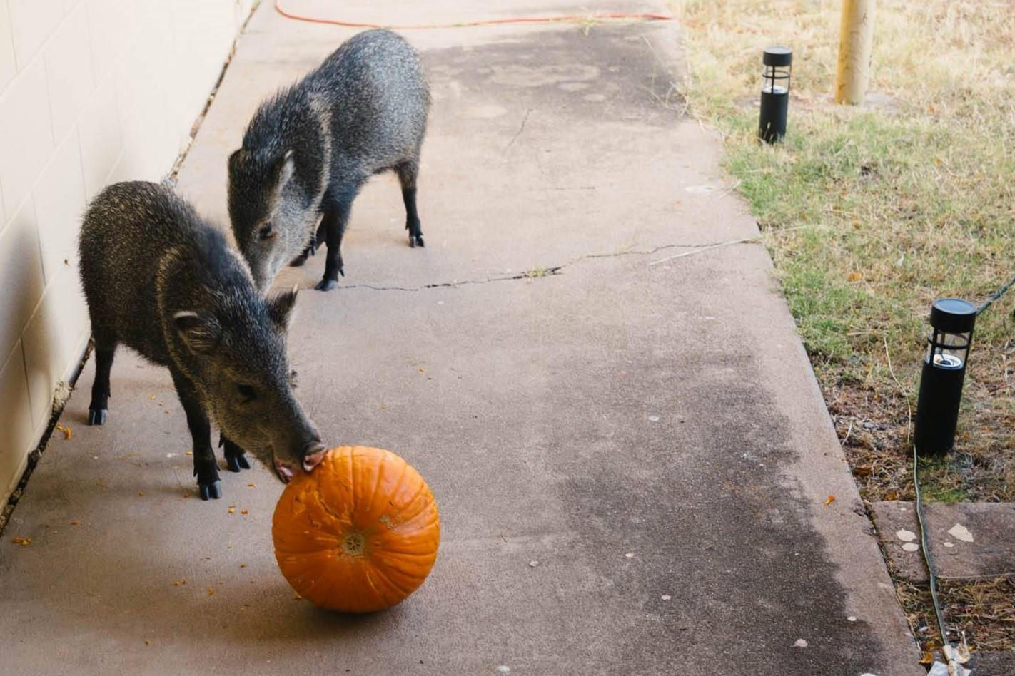 Wild javelinas eating rotting pumpkin