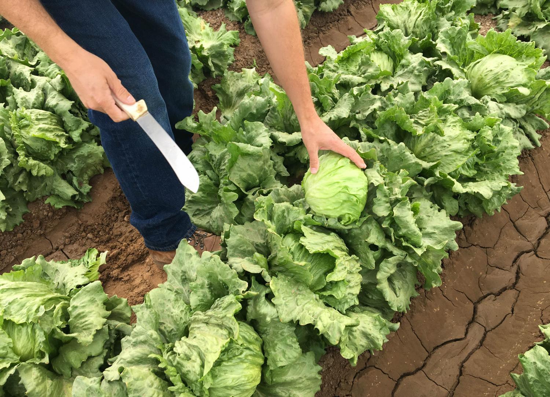 lettuce, yuma, agriculture, farm