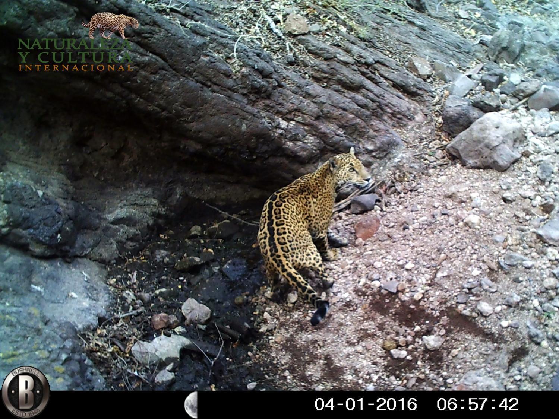 La Meche, pregnant jaguar