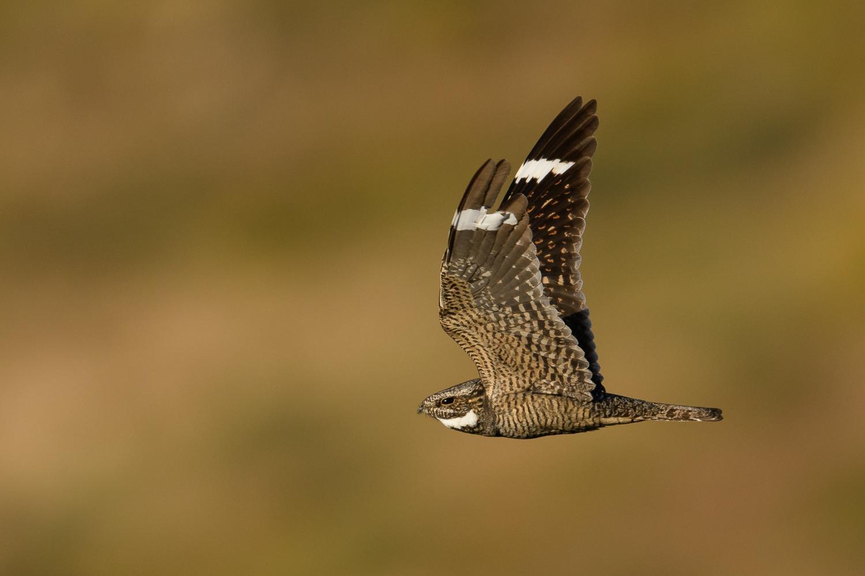 A lesser nighthawk