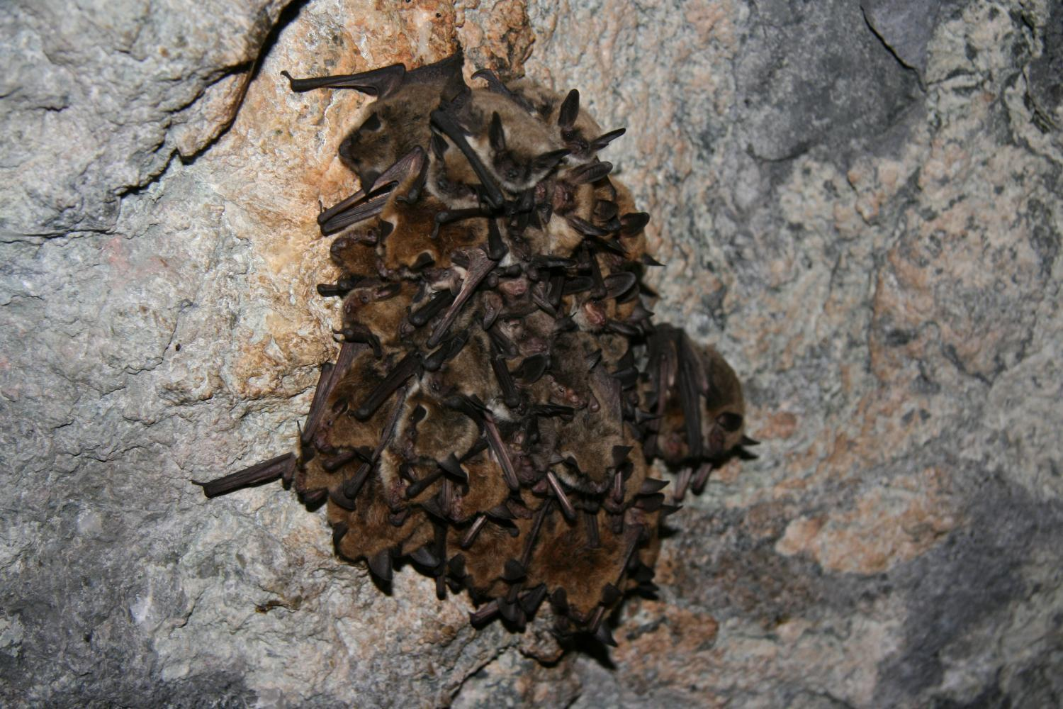 a cluster of cave and fringed myotis (Myotis velifer, Myotis thysanodes) bats