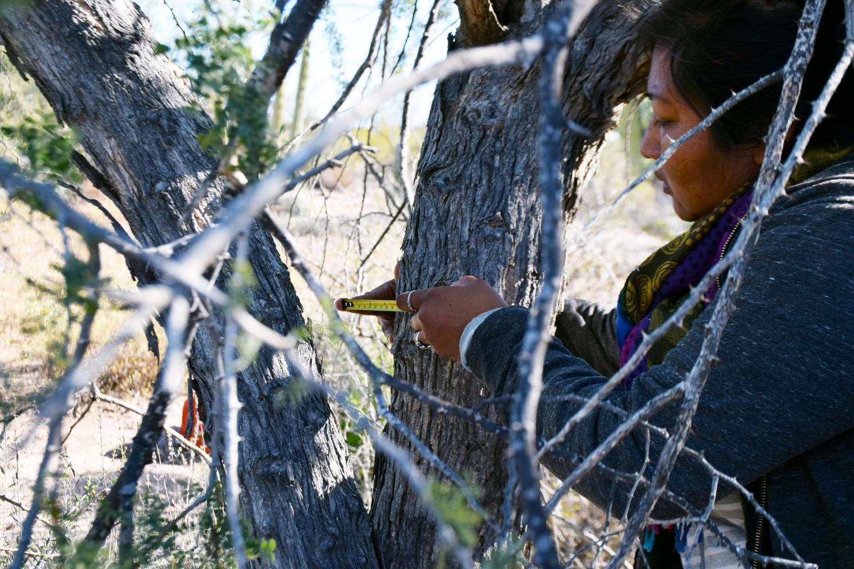 Mayra Estrella measures a tree