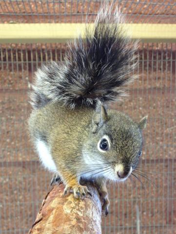 Mount Graham red squirrel