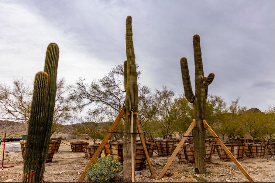 Cacti replanted along Loop 202 South Mountain Freeway