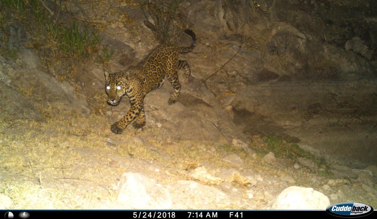 Jaguar caught on camera trap in the Northern Jaguar Reserve