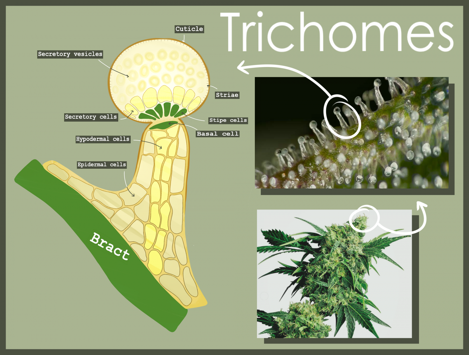 illustration on trichomes