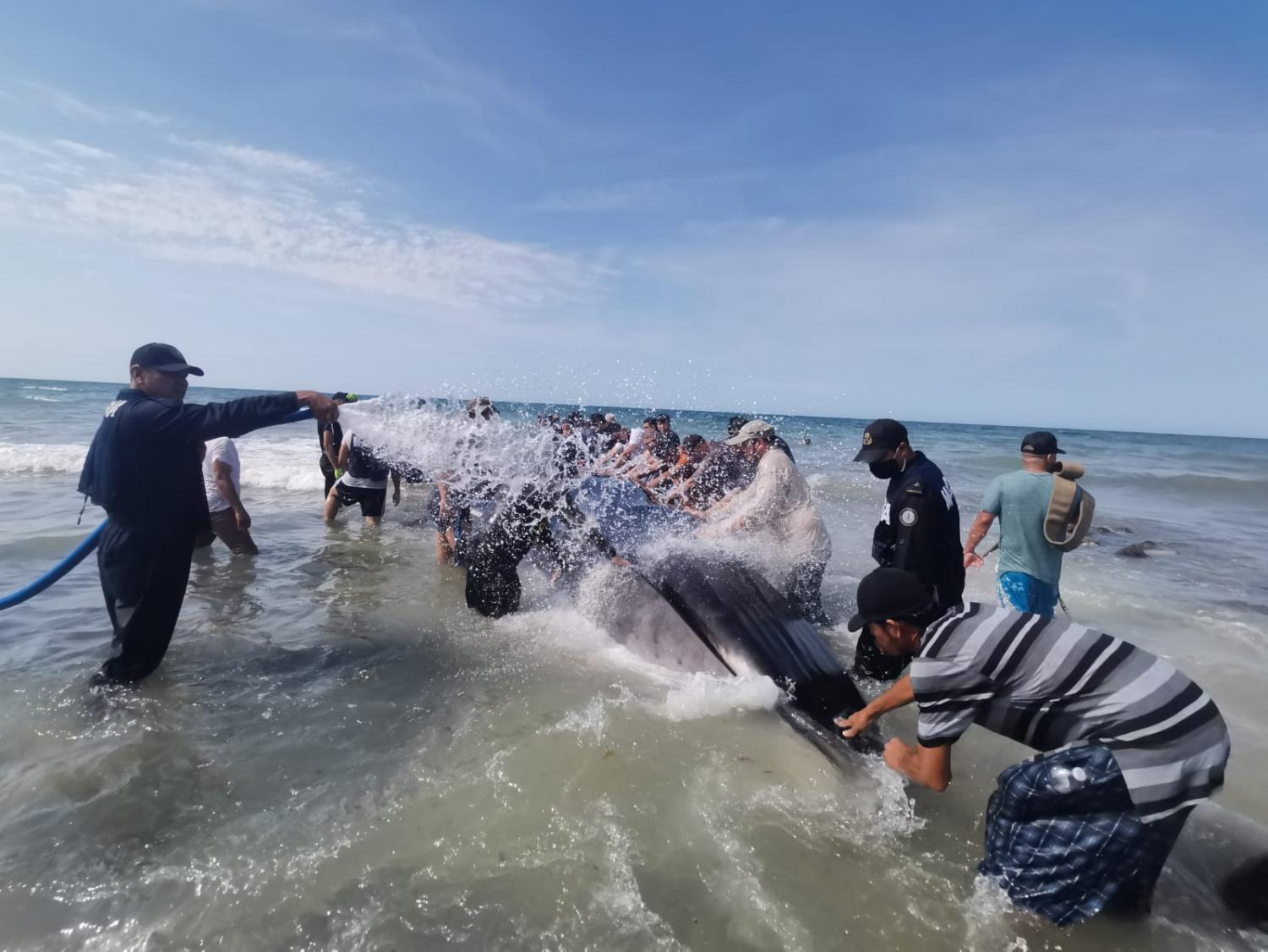 volunteers rescue whale