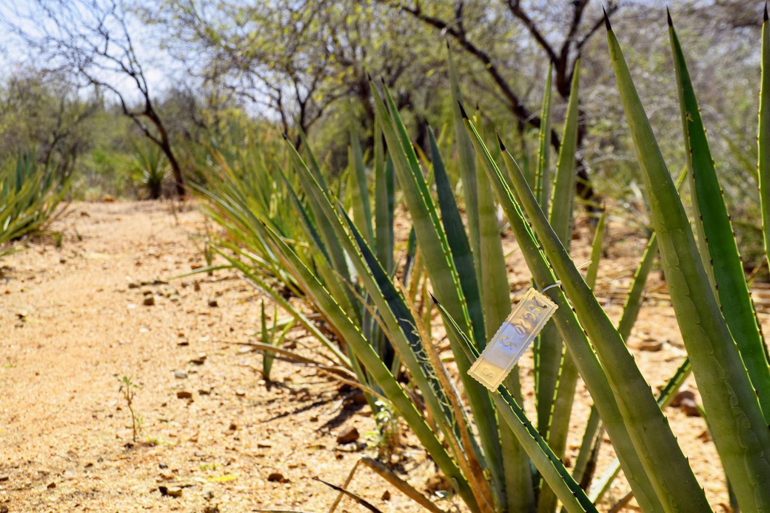 agave with tag