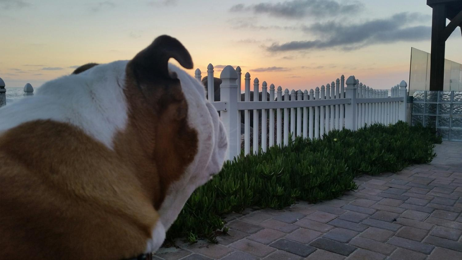 bulldog enjoying san diego sunset