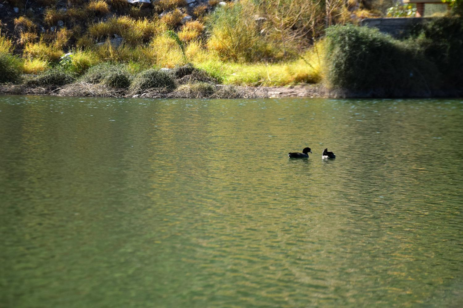 Ducks in La Sauceda