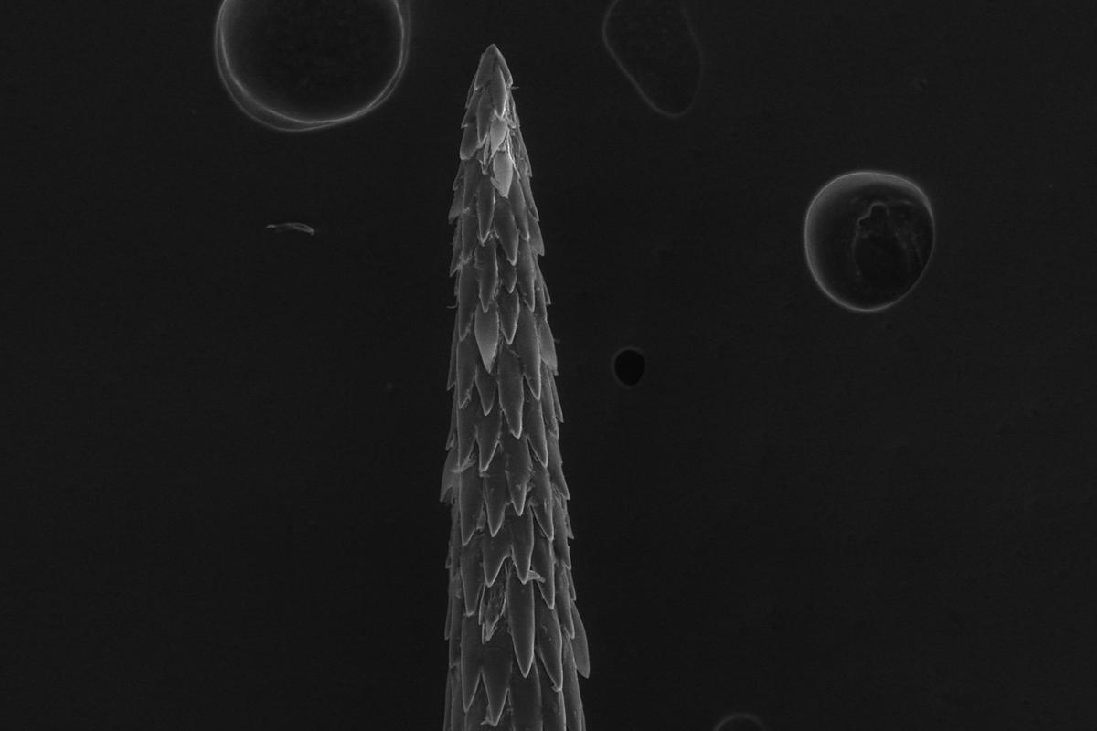 cholla cactus spine