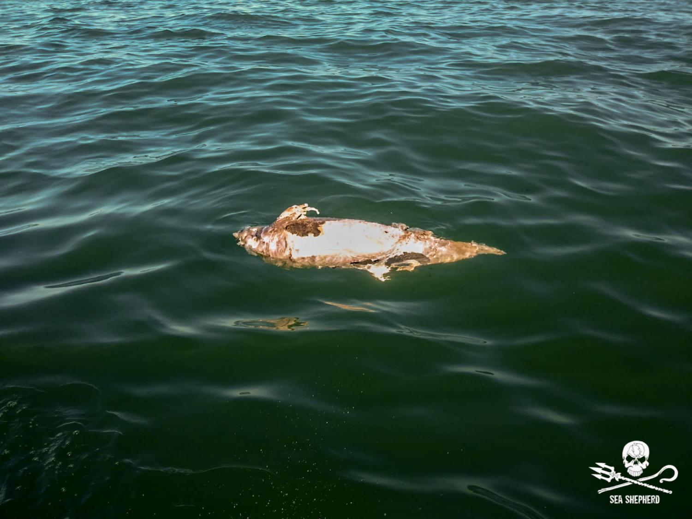 vaquita marina body floating
