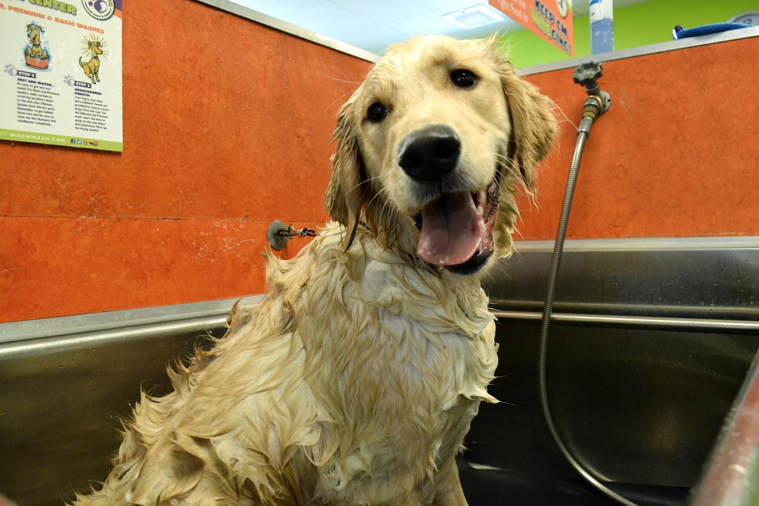 dog wash golden