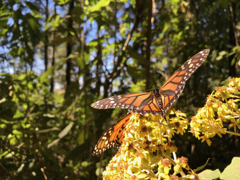 Eastern monarch butterfly.