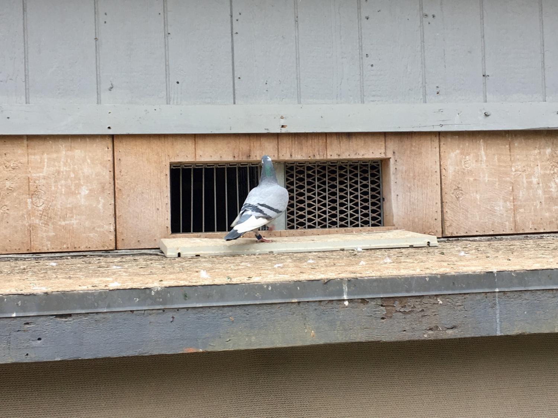 Pigeon on landing