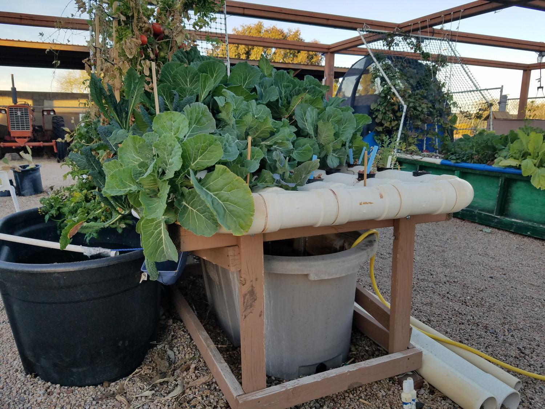 aquponics plants and tubs