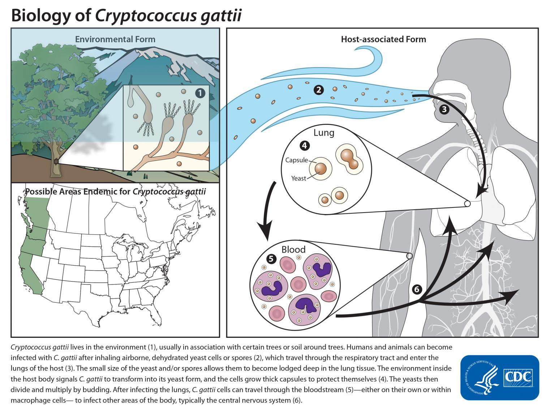 Life cycle of C. gattii