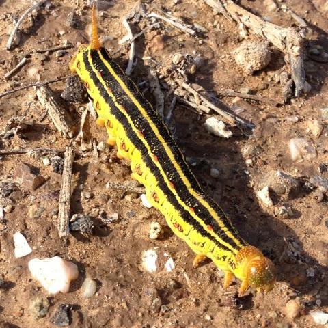 White-lined Sphinx caterpillar