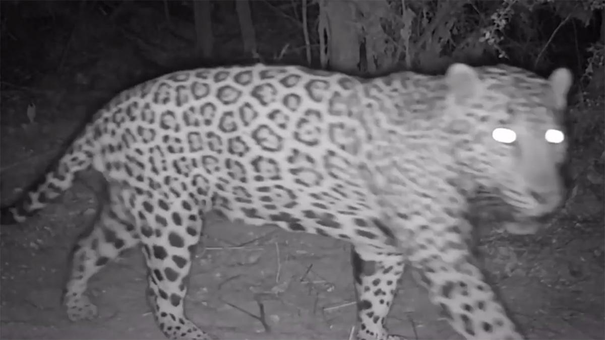El Bonito male jaguar near border