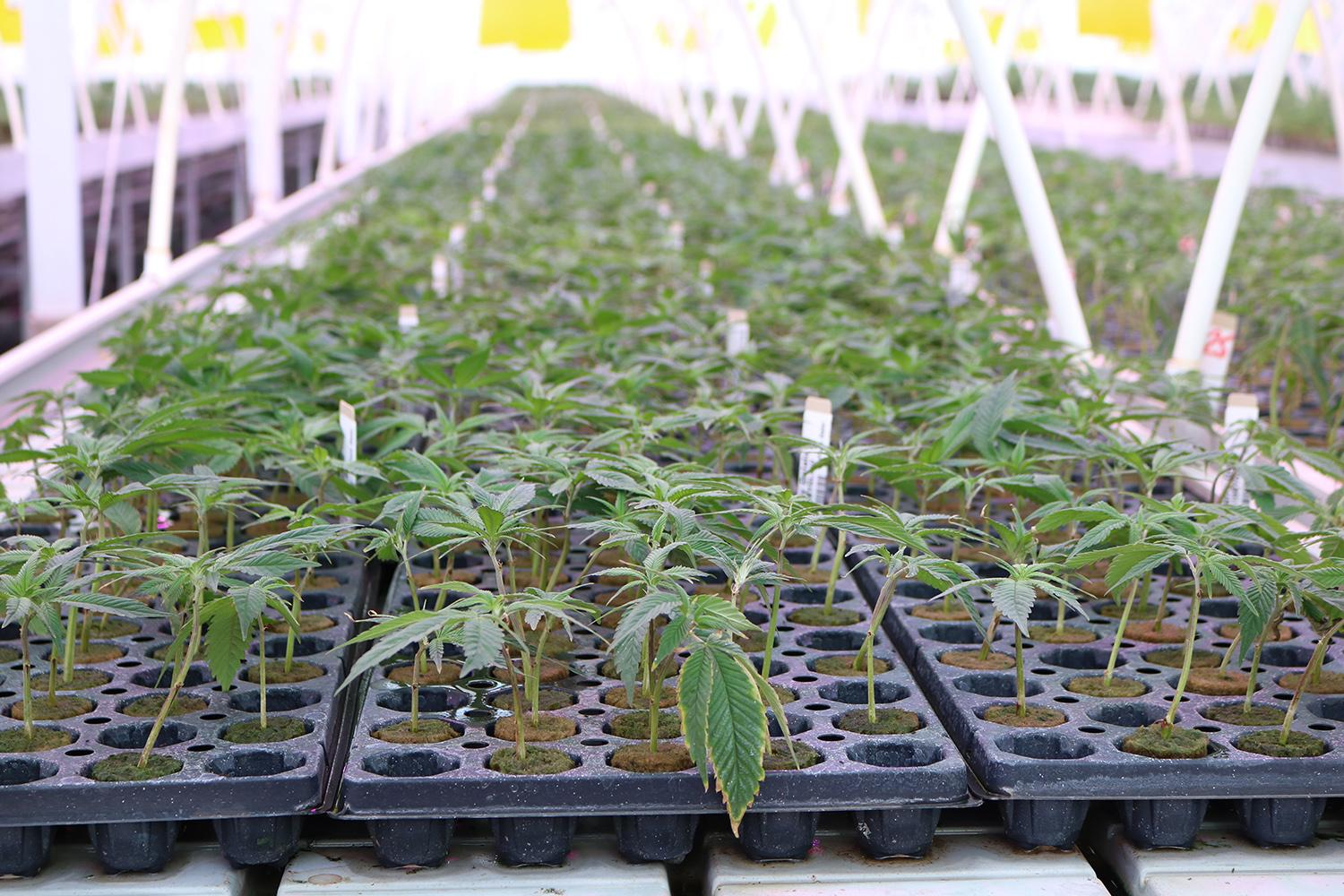 Young marijuana plants at Copperstate Farms