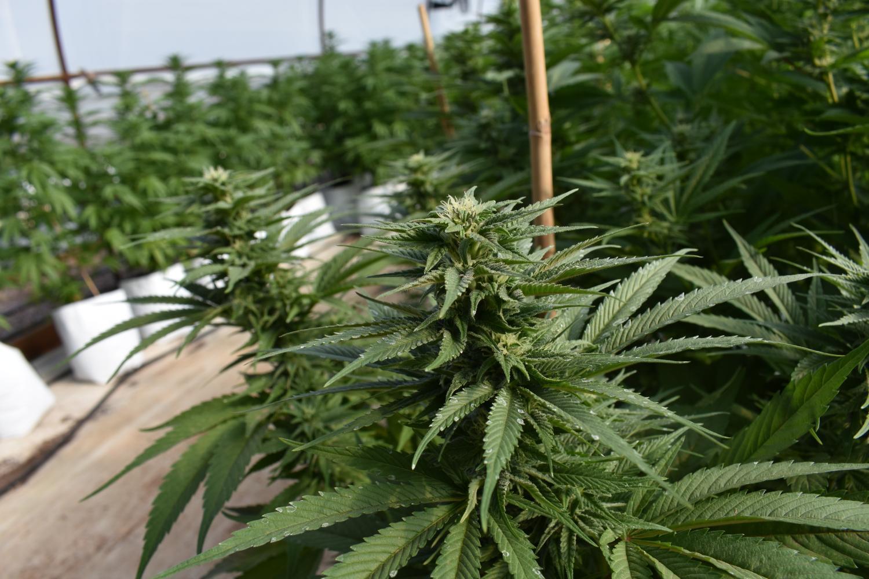 medical marijuana crop