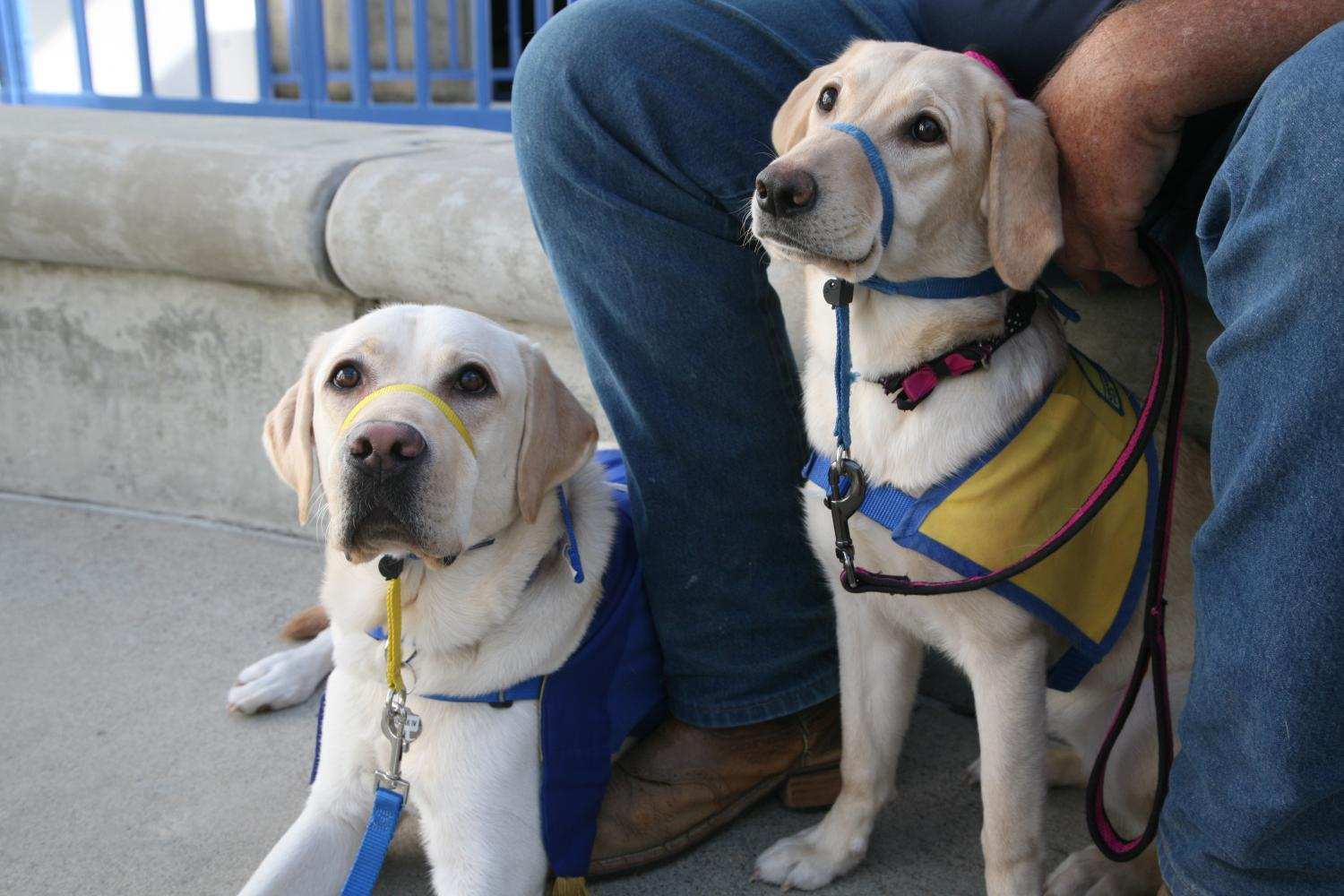 two service dogs stand side-by-side, Mochi and Kodiak