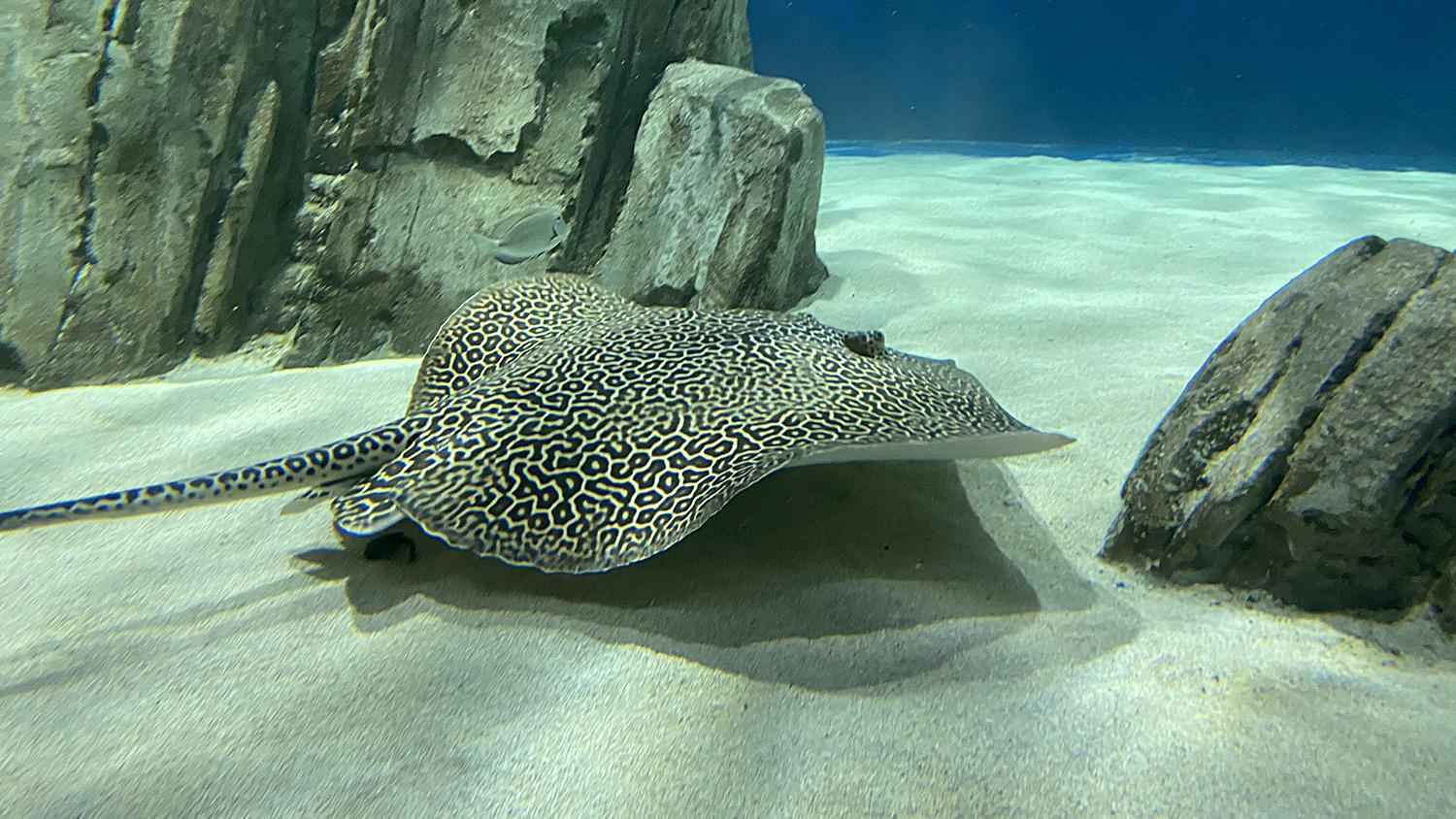 OdySea Aquarium stingray Bee