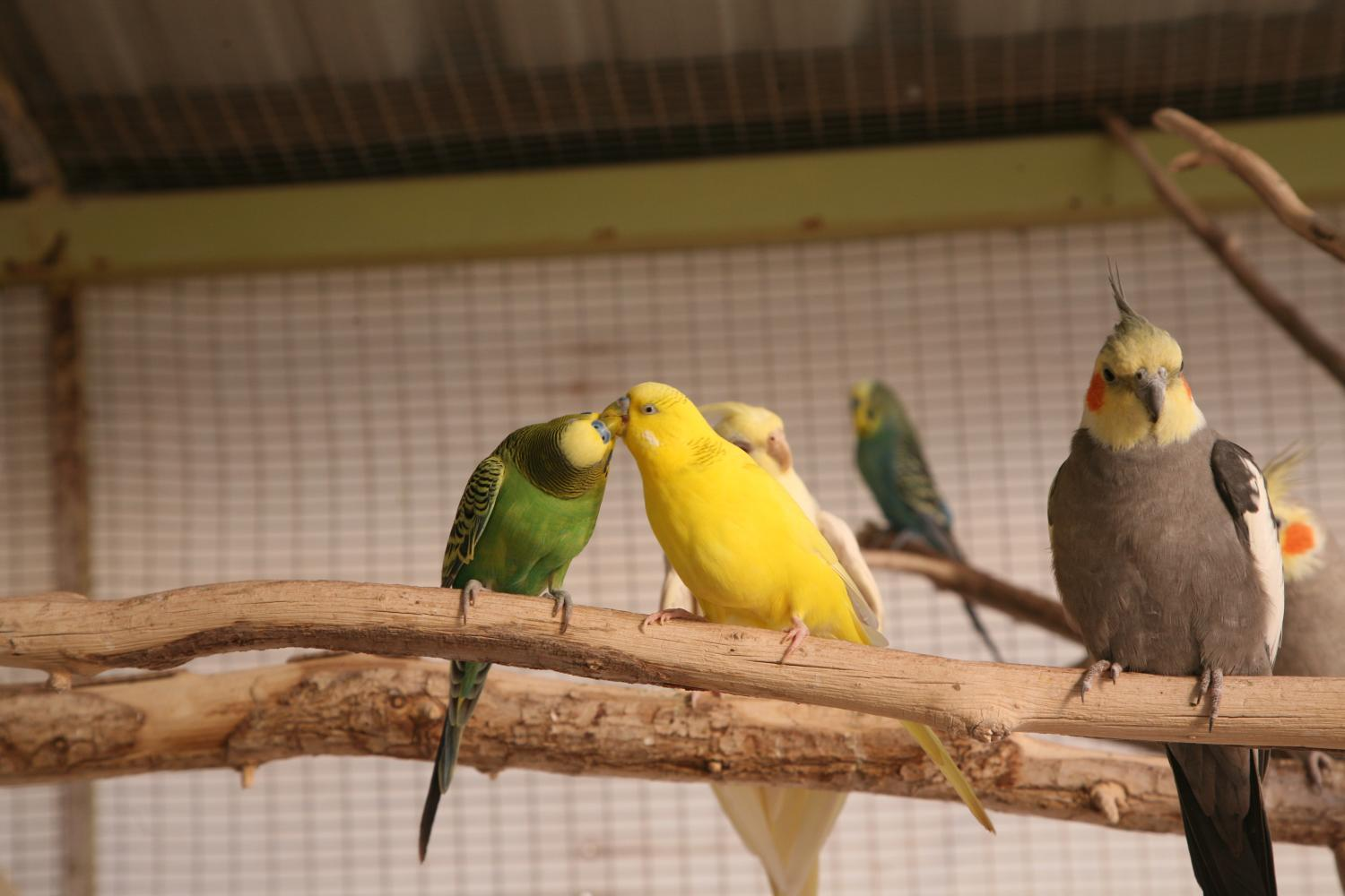 Parakeets kiss each other while perched in an aviary