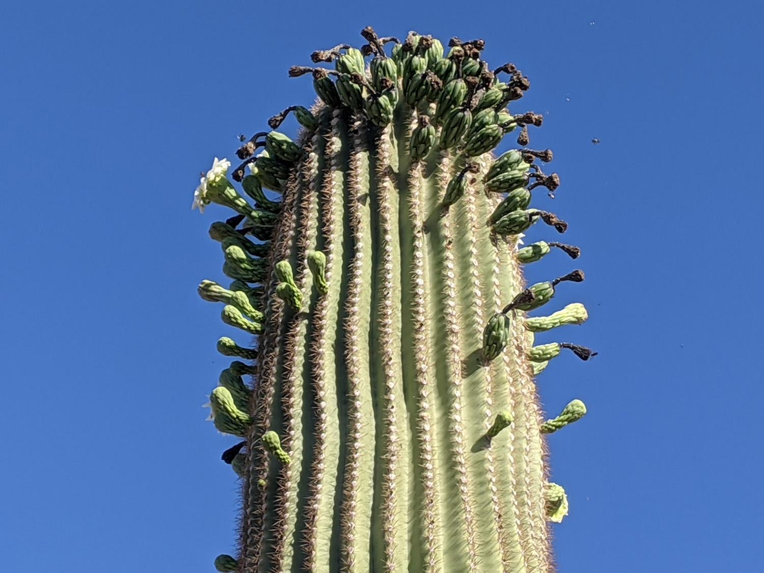 Multiple flowers sprouting on a saguaro cactus