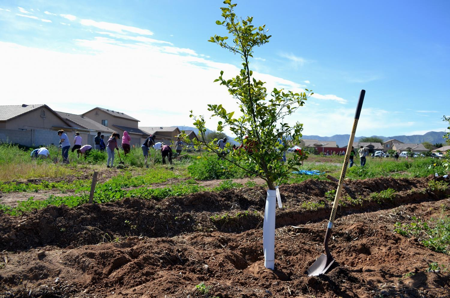 volunteers plant trees