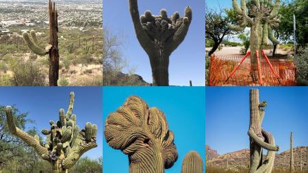 collage of saguaro cactus