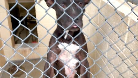 dog at a Maricopa County Animal Care and Control shelter